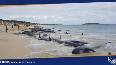 Photo of نفوق مئات الحيتان الطيارة في أستراليا