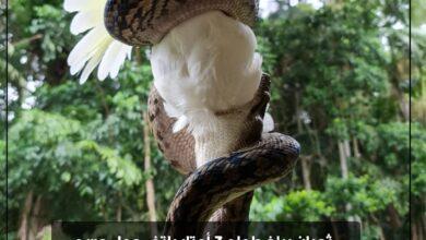 Photo of بالصور | ثعبان يبلغ طوله 3 أمتار يلتف حول جسد ببغاء كوكاتو أبيض بأستراليا قبل التهامه